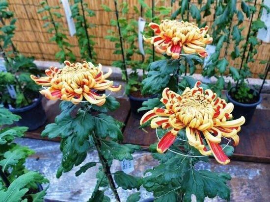 Хризантема индийская: описание 22 лучших сортов, выращивание в открытом грунте из семян