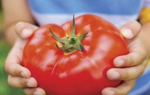 Сорта томатов сладкие и мясистые для открытого и закрытого грунта