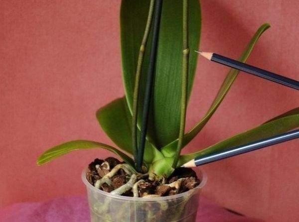 Капризы эпифитов: как заставить орхидею выпустить несколько цветоносов, если она упрямится и не даёт даже одного?