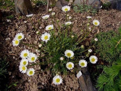 Как вырастить хризантему килеватую из семян? - постройки