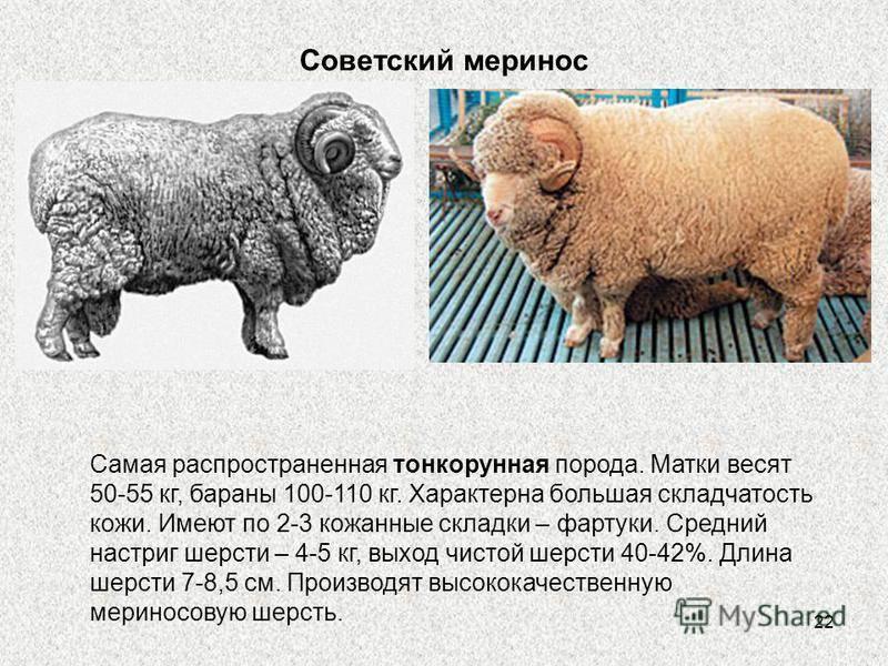 Породы овец: происхождение, описание, характеристика