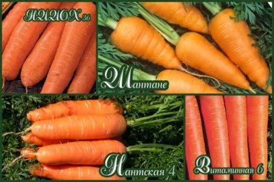 Когда сажать морковь под зиму в подмосковье