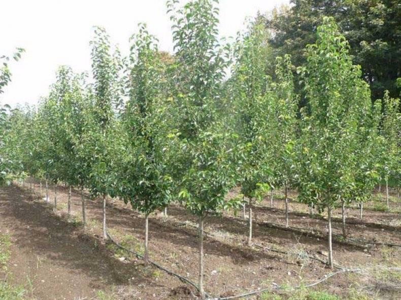 Как посадить грушу — 125 фото правильной посадке груши. пошаговый мастер-класс посадки груши