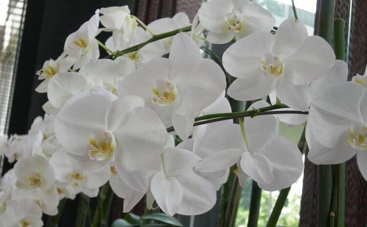 Фаленопсис белый: сорта орхидей с фото, рекомендации по уходу, пересадке и размножению, борьбе с вредителями и болезнями selo.guru — интернет портал о сельском хозяйстве