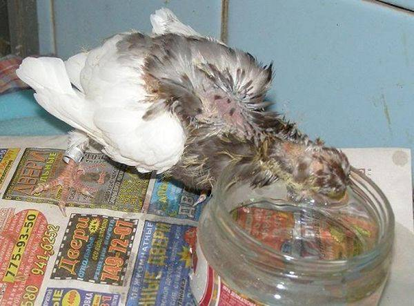 Что едят голуби в домашних условиях: выбираем рацион