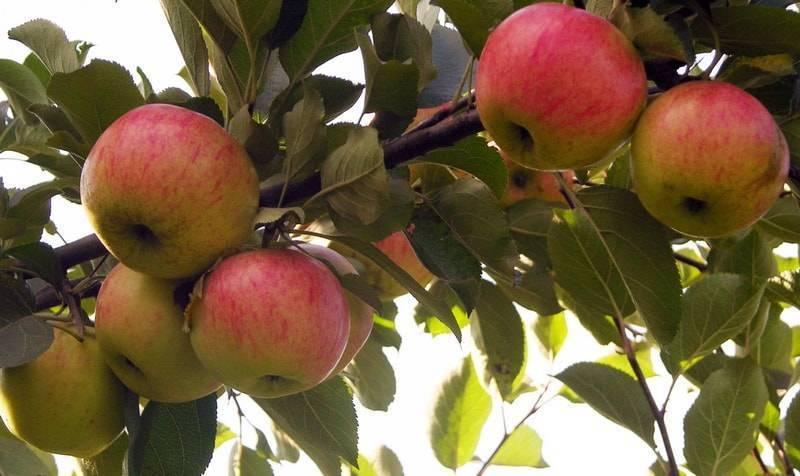 Сорт яблони «медуница»