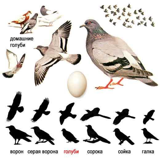Как живёт дикий голубь?