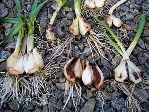 Вредители луковых культур: описание видов и признаки поражения, меры борьбы.