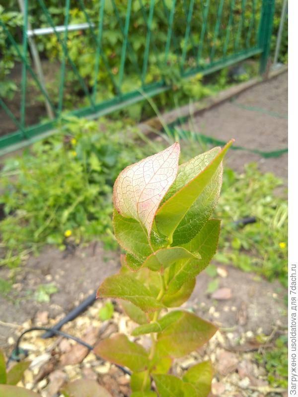 Почему летом на голубике краснеют листья и как с этим бороться