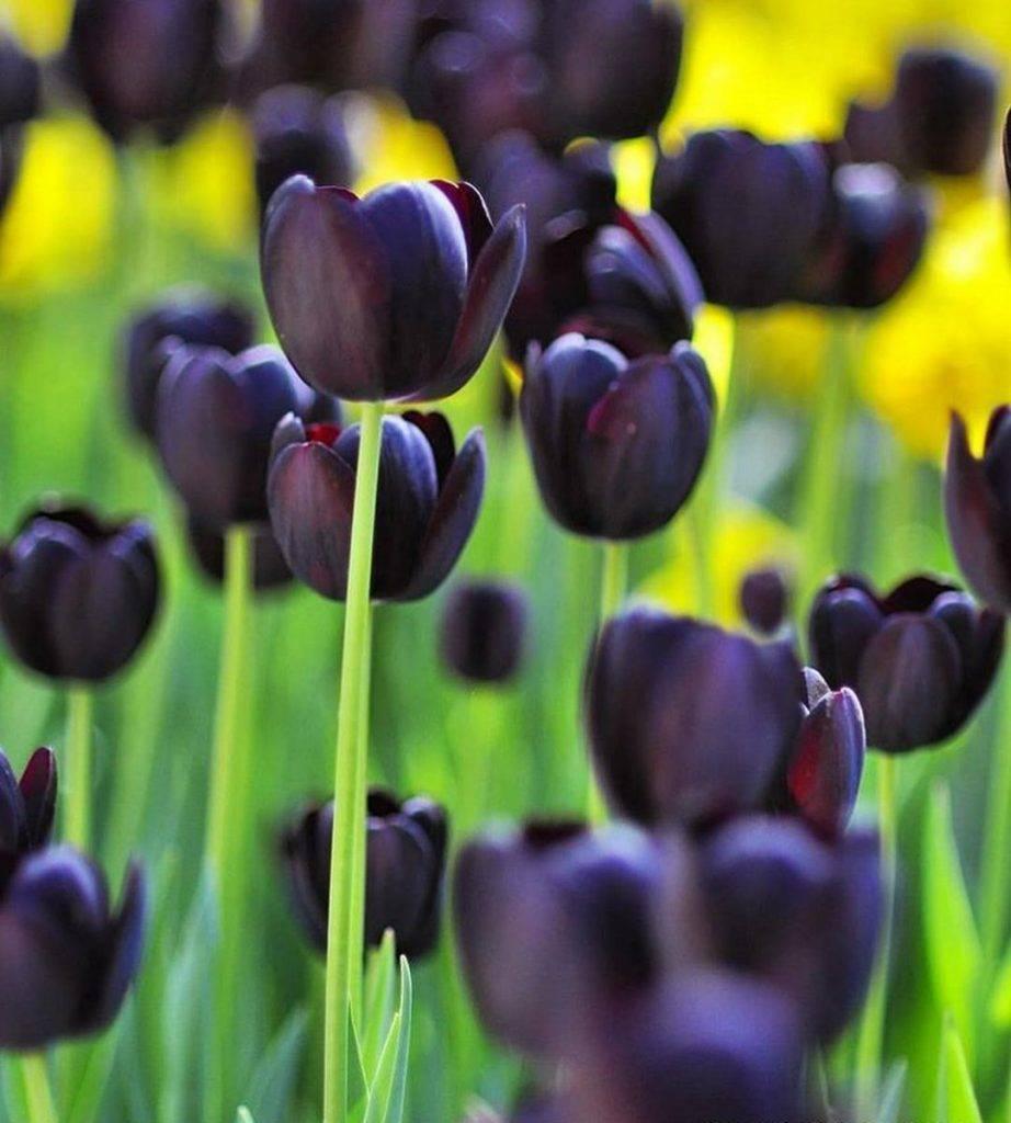 """Классификация садовых тюльпанов: сорта по классам - проект """"цветочки"""" - для цветоводов начинающих и профессионалов"""