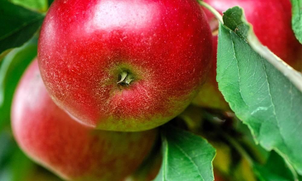 Яблоня солнцедар: описание сорта, фото, отзывы