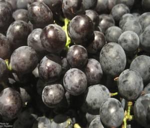 Сколько калорий в разных сортах красного винограда