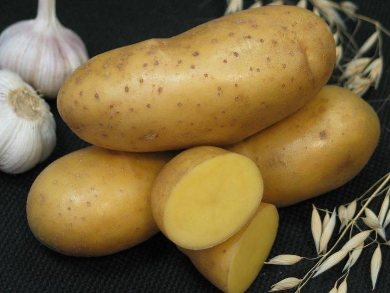 Картофель коломбо: описание и сравнение сорта в таблицах, отзывы