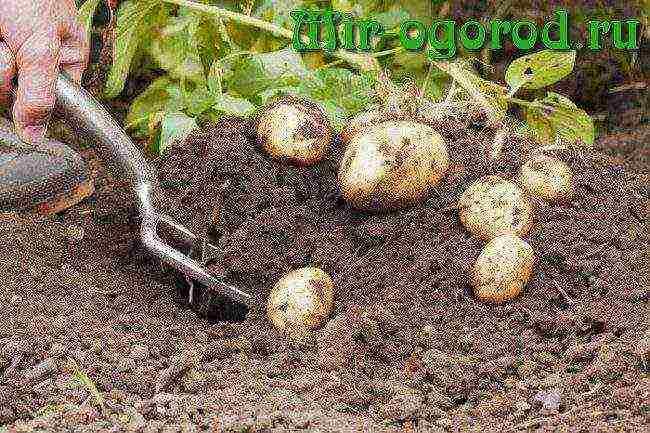 Галина кизимачто посадишь, то и съешь. часть 3. томаты, тыквы и родственные им культуры