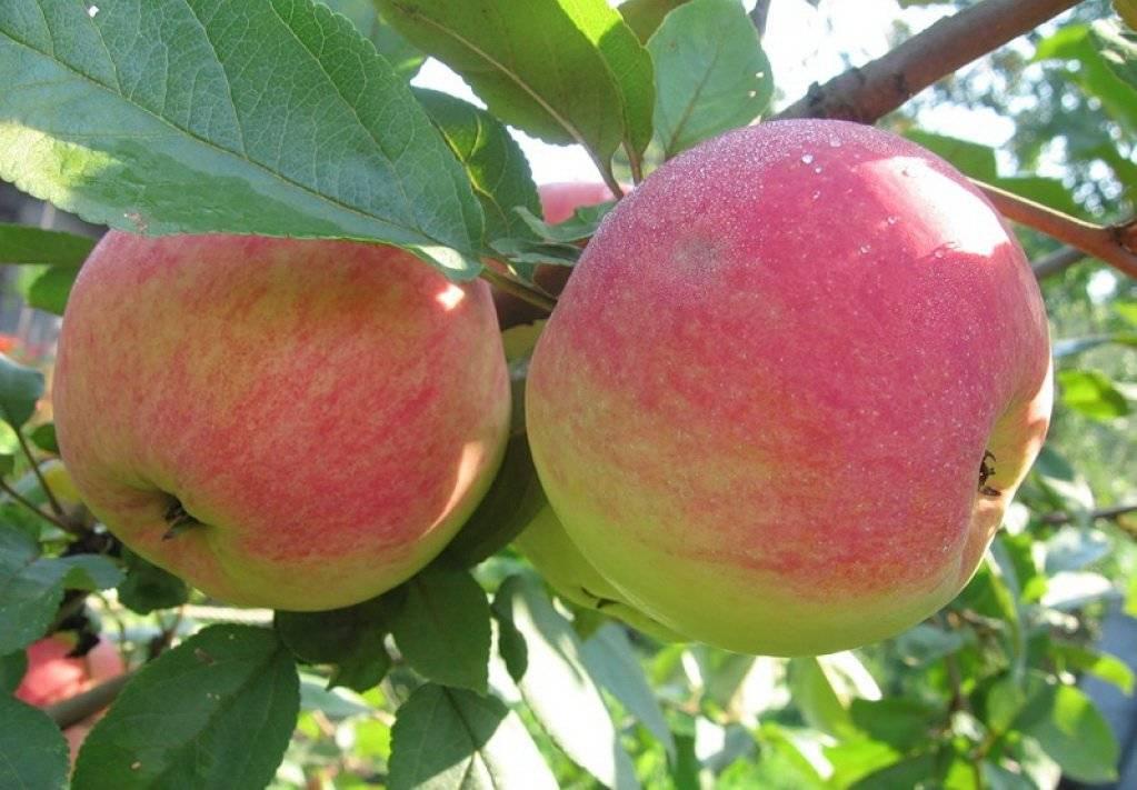 Кислые яблоки: сорта, список названий с фото