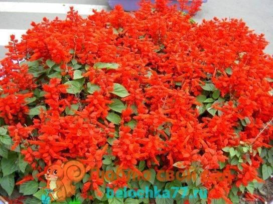 Как и когда сажать сальвию на рассаду и в грунт. фото цветов