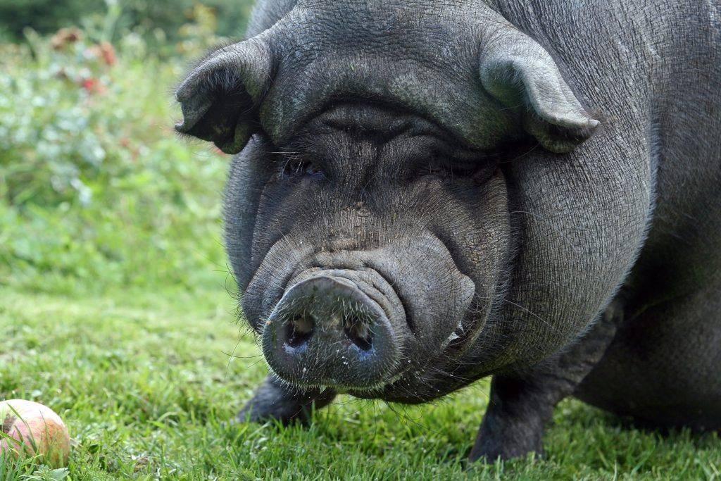 Сколько в среднем весит свинья, таблицы измерения веса по размерам и по месяцам
