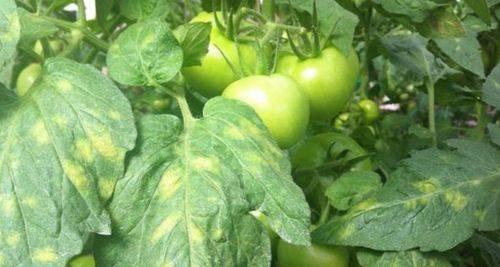 Чем болеют помидоры и как их лечить на supersadovnik.ru