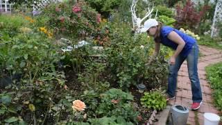 Чем подкормить розы в саду в августе, сентябре: подкормки удобрениями и народными средствами