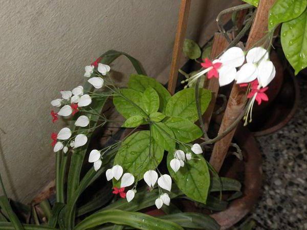 Клеродендрум томпсона (50 фото) - уход в домашних условиях, как вырастить и заставить цвести