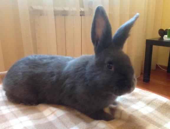 Венский голубой кролик: описание породы, характеристика, фото, отзывы
