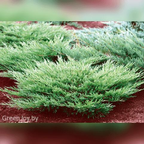 Можжевельник казацкий `вариегата`, juniperus sabina `variegata`