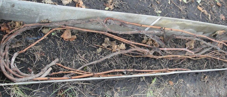 Когда раскрывать виноград весной и чем обрабатывать после раскрытия