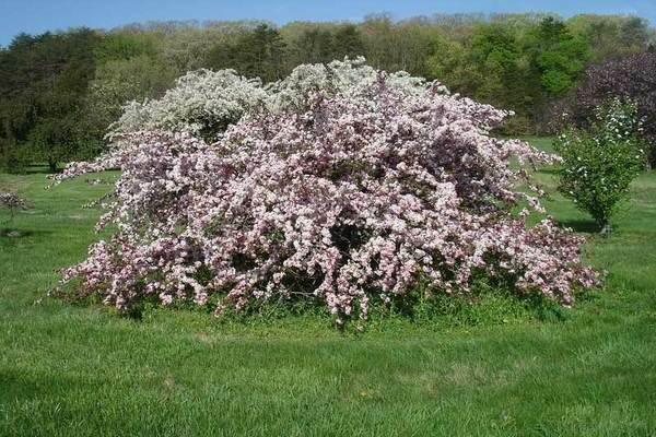 Яблоня недзвецкого: описание, фото, отзывы садоводов, уход