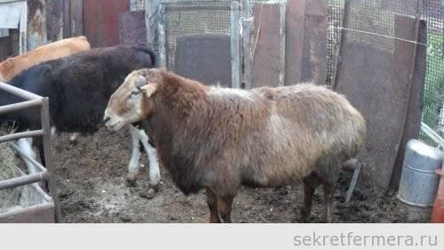 Кормление овец и баранов в зимний период