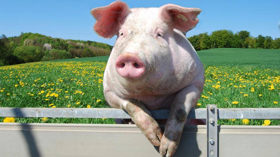 Украинская степная белая свинья – сочетание выносливости и продуктивности