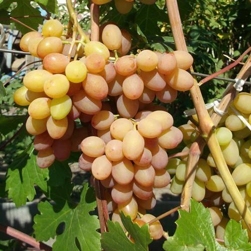 Описание винограда сорта румба