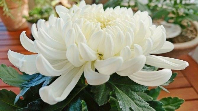 Как на зиму укрыть хризантемы. как сохранить хризантемы в разных климатических поясах   дачная жизнь