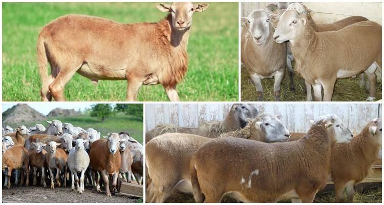 Описание овец катумской породы