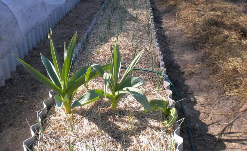 Секреты эффективного выращивания чеснока в домашних условиях и промышленных масштабах в качестве бизнеса