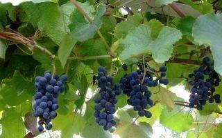 Виноград триумф описание и характеристики сорта выращивание и уход