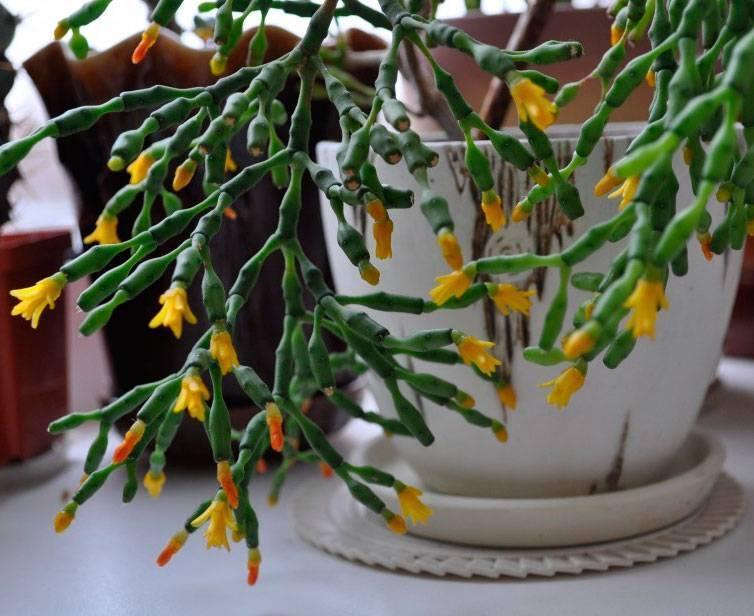 Кактус хатиора: фото цветка, уход и размножение в домашних условиях, формирование растения