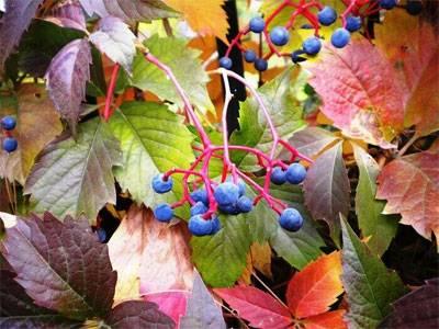 Виноградовник, или ампелопсис — лиана с разноцветными ягодами. уход в домашних условиях. фото — ботаничка.ru