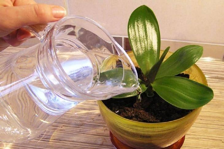 Как поливать фаленопсис? правила ухода и особенности полива орхидеи - sadovnikam.ru