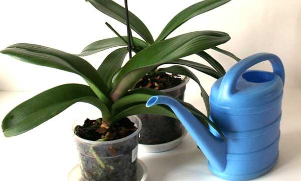 Живительная влага для ярких цветов: как поливать орхидеи зимой и осенью?