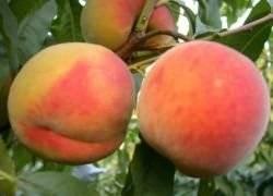 Посадка персика весной в подмосковье: видео и фото