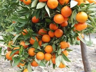 Грейпфрут: сорта и выращивание дома