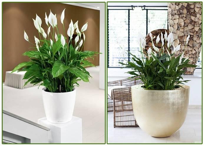 Цветок женское счастье - уход в домашних условиях, советы успешного выращивания
