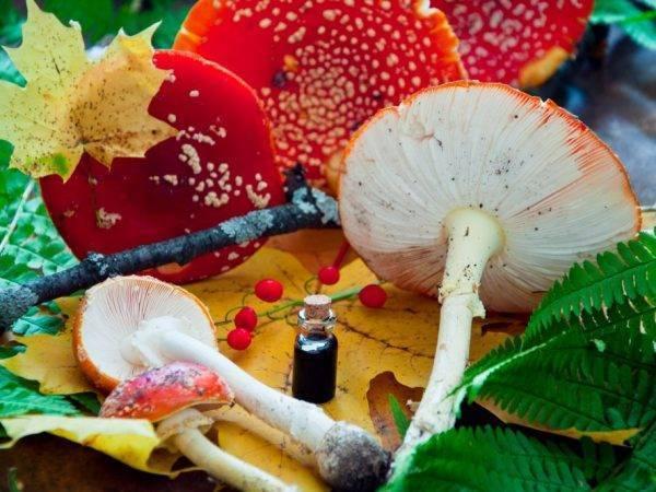 От чего помогает настойка мухомора на спирту, водке: свойства и применение народного средства