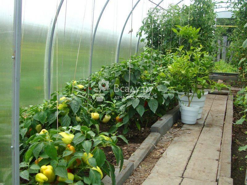 Болгарский перец от семян до плодов. советы опытного огородника –