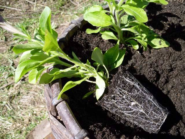 Посев семян петунии: когда сажать и как вырастить в домашних условиях рассаду?