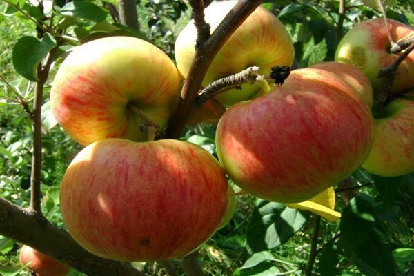 Яблоня осенняя радость: описание сорта, фото, отзывы
