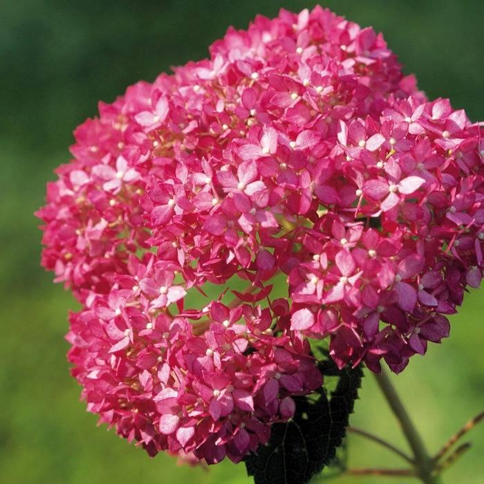 Гортензия древовидная пинк анабель (pink annabelle): фото, отзывы, описание, характеристики.