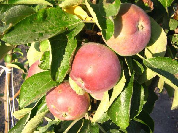 О яблоне колоновидной созвездие: описание и характеристики сорта, посадка и уход