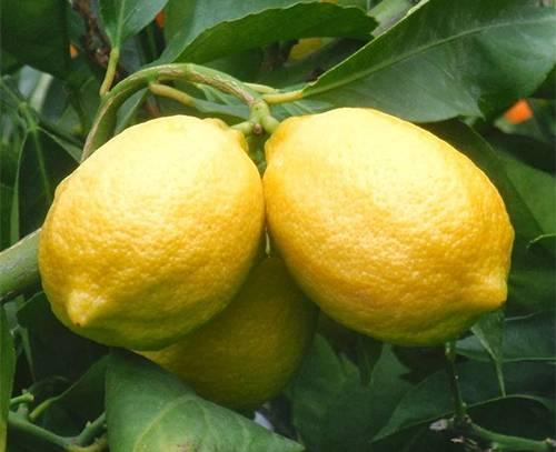 Виды лимона selo.guru — интернет портал о сельском хозяйстве