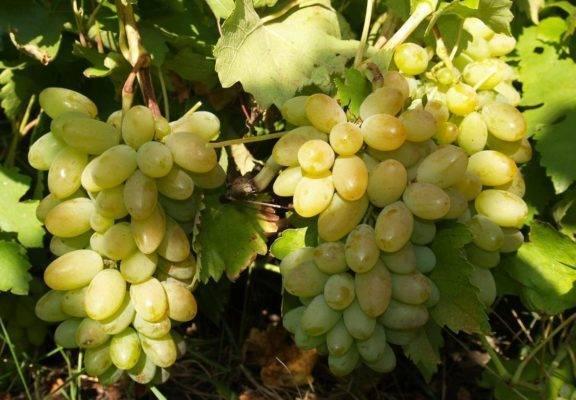 Виноград «Тимур»: описание сорта, фото, отзывы